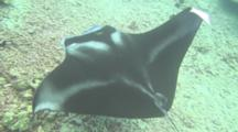 Mantaray Up Close Being Cleaned