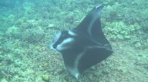 Mantaray Swims Below Camera