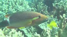 Ring Tail Wrasse Eating Trumpetfish