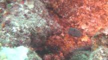 Spotted Boxfish, Female