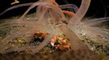 Armed Anemone And Porcelain Crabs Feeding On Worms At Night