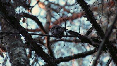 Pygmy Owl Glaucidium Passerinum in forest