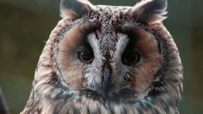 Long-Eared Owl Asio Otus extreme closeup