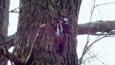 Great Spotted Woodpecker Dendrocopos Major carving a hole