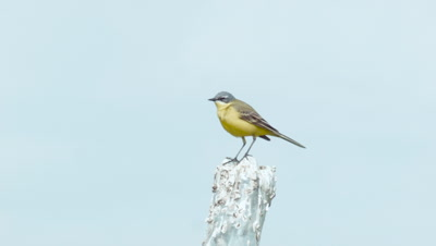 Yellow Wagtail Motacilla Flava Singing