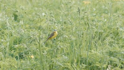 Yellow Wagtail Motacilla Flava Singing in meadow