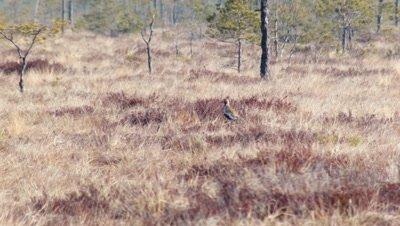 European Golden Plover Pluvialis Apricaria in bog