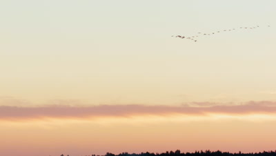Flock of cranes Grus Grus in sunrise