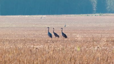 Family of Common Cranes Grus Grus in field