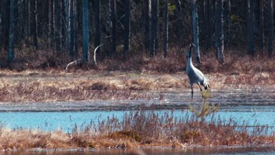 Common Crane Grus Grus graceful in bog
