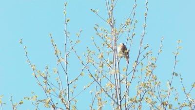 Common Redstart Phoenicurus Phoenicurus Singing