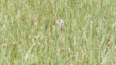 Corn Crake Crex Crex singing