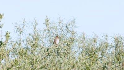 Common Rosefinch Carpodacus Erythrinus Singing In A Bush