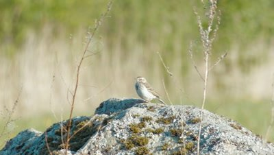 Meadow Pipit Anthus Pratensis On A Stone In Meadow