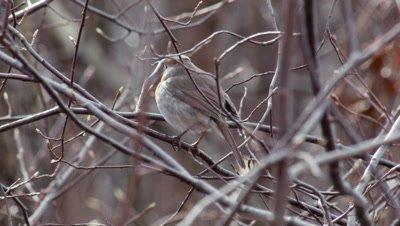 European Robin Erithacus Rubecula Singing