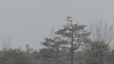 Common gull Larus canus on pine in marsh