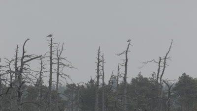Pair of Common gulls Larus canus sitting on dead pines