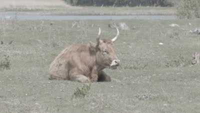 Grassland management - Highland cattle wild cows Bos taurus in coastal meadow