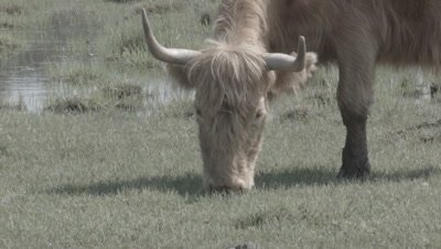 Grassland management - Charolais cattle wild cow Bos taurus grazing in coastal meadow