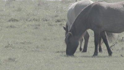 Grassland management - Konik wild horses Equus ferus caballus grazing in coastal meadow with birds in grass