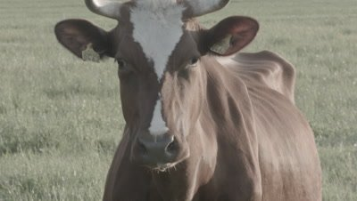 Closeup of brown and white domestic cow cattle Bos taurus out in pasture
