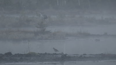 Habitat management - Wood sandpiper Tringa glareola in rising morning mist in flooded peat fields in Kemeri National park