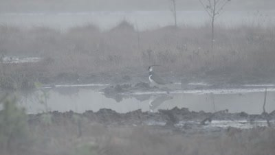 Habitat management - Northern lapwing Vanellus vanellus in rising morning mist in flooded peat fields in Kemeri National park