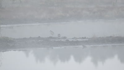Habitat management - plover is angry with the sandpiper in rising morning mist in flooded peat fields in Kemeri National park
