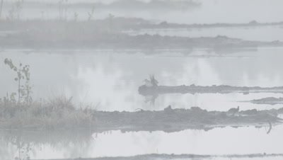 Habitat management - Two Wood sandpipers Tringa glareola in rising morning mist in flooded peat fields in Kemeri National park