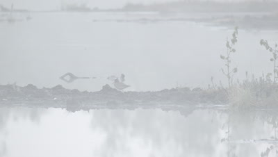 Habitat management - Common Redshank Tringa totanus in rising morning mist in flooded peat fields in Kemeri National park