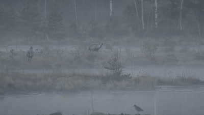 Habitat management - Pair of Common Cranes Grus grus in rising morning mist in flooded peat fields in Kemeri National park