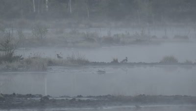 Habitat management - Common Redshank Tringa totanus displaying in rising morning mist in flooded peat fields in Kemeri National park