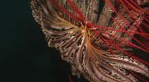 Crinoid Attached To Sea Whip, Close-Up Of Feet