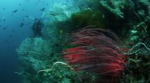 Sea Whips Stand Out On Reef, Photographer In Background