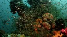 Small Tropical Fish, Possibly Sweepers, Gather On Coral Head