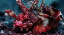 Demon Stinger Scorpionfish Looks At Camera
