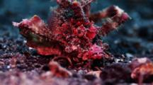 Demon Stinger Scorpionfish Turns