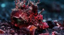 Demon Stinger Scorpionfish Walks Slowly On Bottom