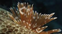 Featherduster Worm On Hard Coral