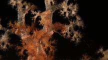 Brittle Stars On Soft Coral