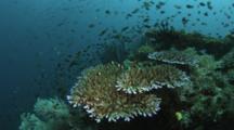 Coral With Damselfish