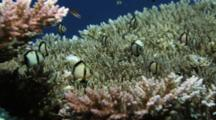 Damselfish Swim Over Coral