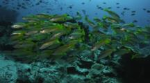 School Of Fish, Possible Yellow Tail Snapper