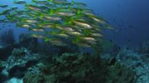 School Of Fish, Possibly Snapper, Near Reef
