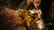 Leaf Scorpionfish Moves In The Current