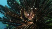 Urchin Clingfish In A Crinoid