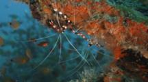 Banded Coral Shrimp Upside Down On A Reef