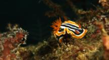 Nudibranch On Detritus