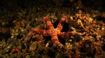 Sea Star On Detritus, Possibly Nardoa Sp