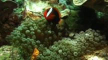 Anemonefish In Bulb Anemone